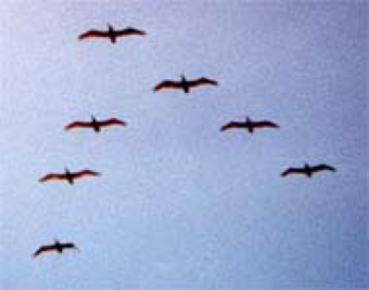 Figure 21: The V-formation of Canada geese. It is most interesting to look at the spaces between adjacent birds. In each case there is a rectangle of empty space formed by the left wing of one bird, the right wing of the other bird, and the two bodies.