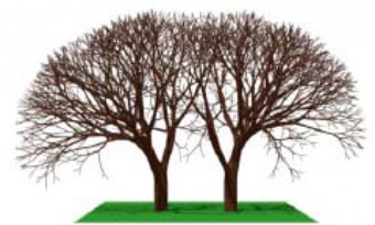 Figure 29: An environmental L-system simulation of tree growth in two adjacent, interacting trees (from [40]). The spaces between branches still lack the intensity as centers caused by the action of each volume of space as a system in its own right.